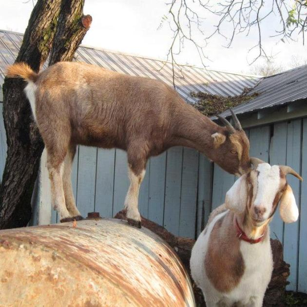 The Pleasure and Utility of Goats