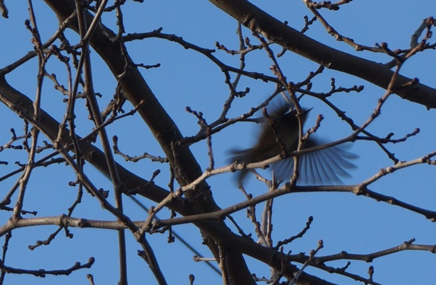 Ghost of a Ruby-Crowned Kinglet