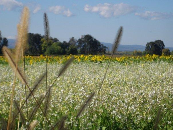 Sunflowers: A Love Story